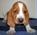 الباسط الجراء كلب مدرب تدريبا جيدا متاح المحافل منزل جديد
