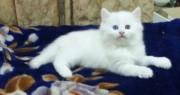 قطط شيرازية أصلية بيضاء عيون زرقاء