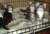 Beautiful, Male and Female Maine Coon Kittens