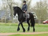 Beautiful Friesian Horses For ADOPTION