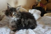 Maine Coon Kittens For Rehoming 222