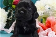Gorgeous Cocker Spaniel Puppies available