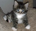 Maine Coon Kittens For Rehoming 11
