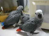 Male and  female African grey parrot for sale.
