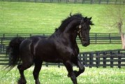 Young Energetic Frisian Horse for sale.Please contact us
