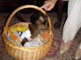i have one female capuchin monkey ready to go to a loving and c