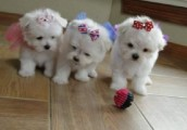 Champion teacup Maltese  puppies males and females for sale.