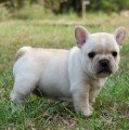 French Bulldog Puppies for sale..