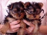 Micro-Chipped Teacup Yorkie Puppies for sale