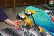 Beautiful Blue and Gold Macaws parrots for sale..