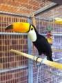 Cute male and female  Toco Toucans birds for sale..........