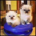 Cute male And Female Ragdoll kittens For Free sale