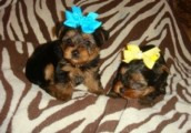 Teacup Yorkie Puppies Available for sale...