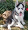 Siberian Husky with Blue Eyes for sale