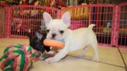 French bulldog puppies for sale.....