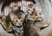 stunning Pedigree Bengal Kittens for sale.