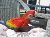 Talkings Parrots for sale.
