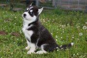 Registered Blue Eyes Siberian Husky Puppies