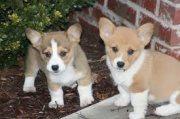Beautiful Corgi Puppies For Sale