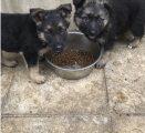 Gorgeous German Shepherd Puppies