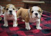 Lovely English Bulldog Puppies