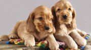 Adorable Cocker Spaniel Puppies Available for sale
