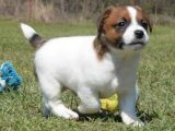 Very Playful Jack Russell Terrier Puppies for sale