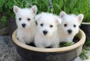 Lovely West Highland White Terrier Puppies Available for sale