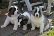 Pure Breed American Akita Puppies For Sale