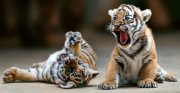 Beautifully train Tiger cubs for sale