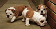 Charming English Bulldog Puppies For Sale