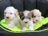 Affectionate Maltipoo Puppies For Sale